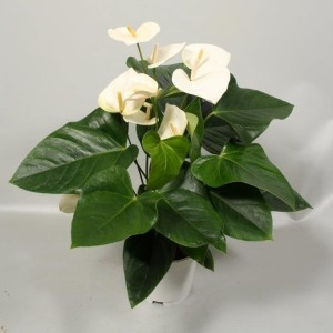 Anthurium 'Flamingo White'