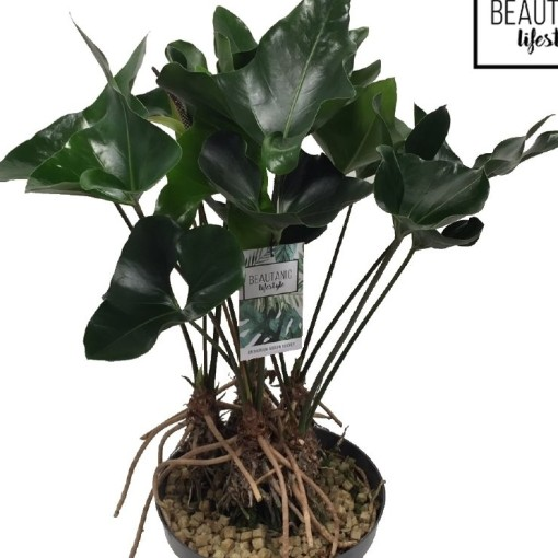 Anthurium ARROW (MDK Plants)