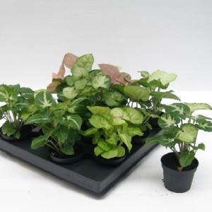 Syngonium podophyllum MIX (Gasa DK)