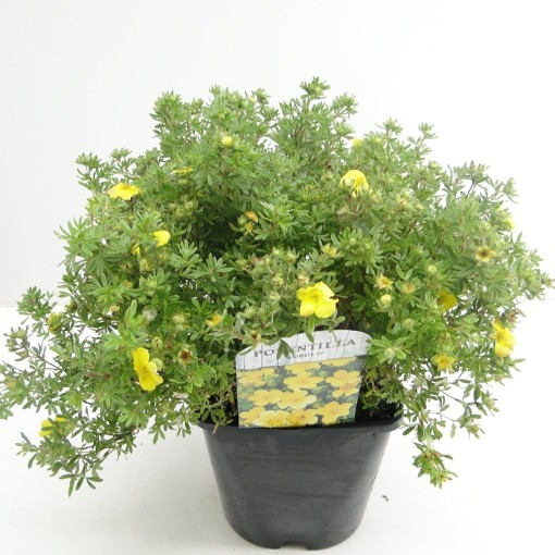 Potentilla fruticosa 'Kobold' (Hooftman boomkwekerij)
