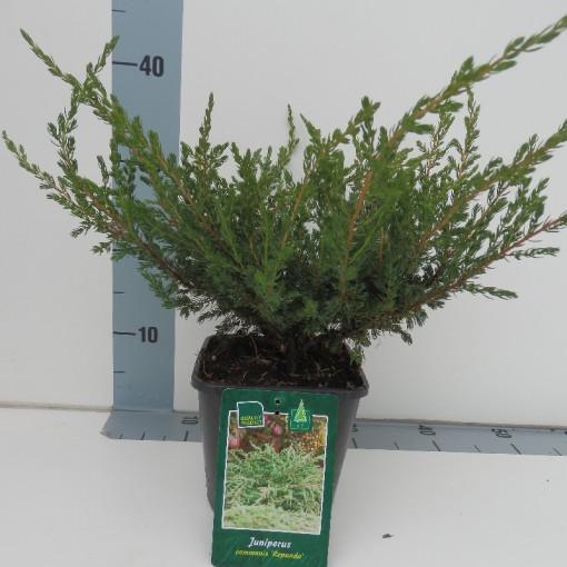 Juniperus communis 'Repanda' (De Koekoek Potcultures)