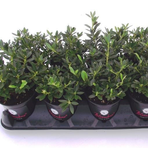 Rhododendron BLOOMBUX (De Jong Plant BV)