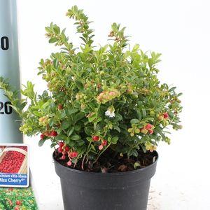 Vaccinium vitis-idaea MISS CHERRY (About Plants Zundert BV)