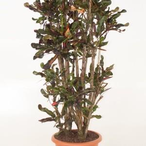Codiaeum variegatum 'Curly Boy' (Ammerlaan )