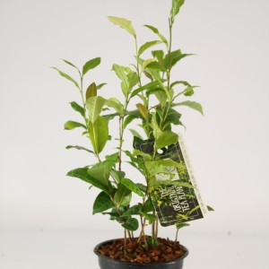 Camellia sinensis (Special Plant Zundert)