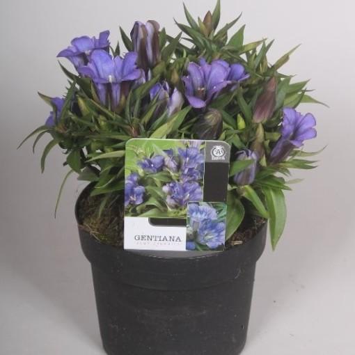 Gentiana scabra ROCKY DIAMOND BLUE ETERNITY (Mathot Plants B.V.)