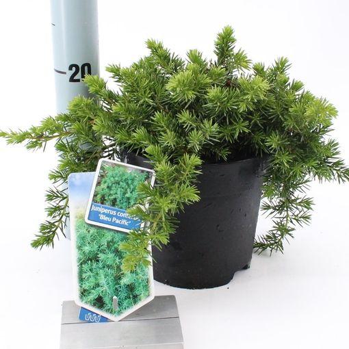 Juniperus conferta 'Blue Pacific' (About Plants Zundert BV)