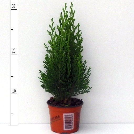 Chamaecyparis lawsoniana 'Green Pillar' (Boomkwekerij Potcultuur Gebr. Rademaker)
