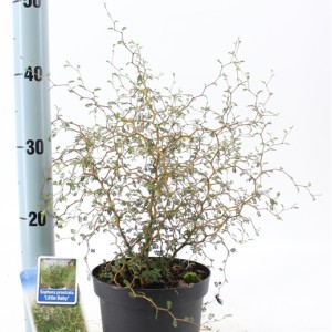 Sophora 'Little Baby'