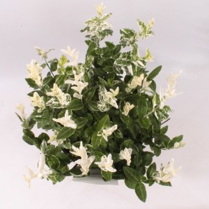 Euonymus fortunei 'Harlequin' (Handelskwekerij van der Velden)