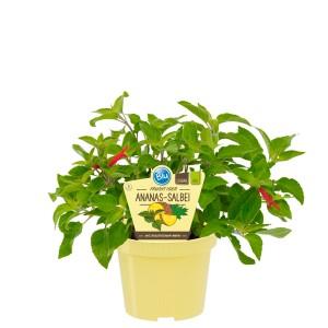 Salvia rutilans