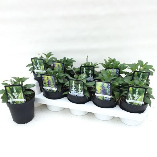 Salvia farinacea MIX (Liesvelden Kwekerij)