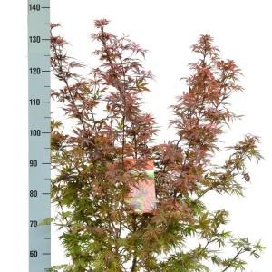 Acer palmatum 'Shaina' (Son & Koot BV)