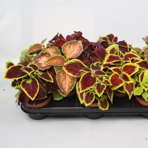 Coleus 'Wizard MIX'
