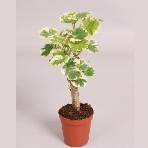 Polyscias scutellaria 'Marginata' (Handelskwekerij van der Velden)