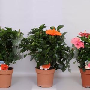 Hibiscus rosa-sinensis FIORI GRANDE MIX (Peeters Potplanten)
