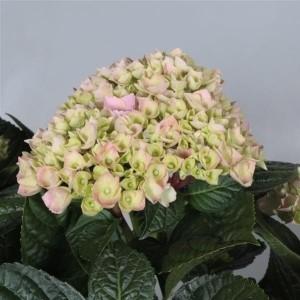Hydrangea macrophylla 'Ankong' (JoGrow B.V.)