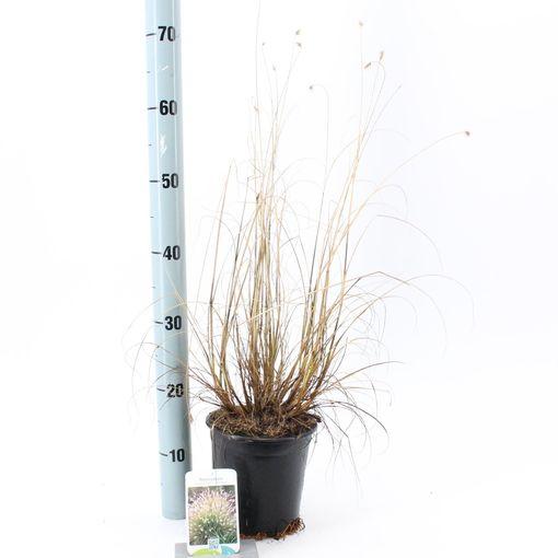 Pennisetum alopecuroides 'Hameln' (About Plants Zundert BV)
