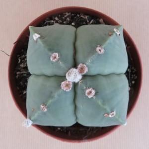 Astrophytum myriostigma nudum f. quadricostatum