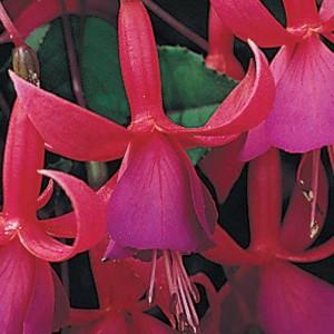 Fuchsia 'Beacon' (Kwekerij de Noordpoel)