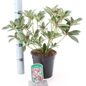 Skimmia japonica 'Rockyfield Green'