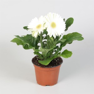 Gerbera COLOURGAME WIT (JHL Plants)