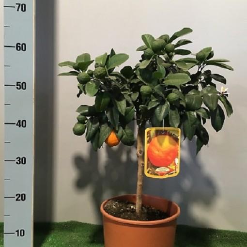 Citrus x limonia 'Rangpur' (Flora Toscana)