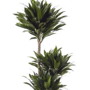 Dracaena fragrans 'Compacta'