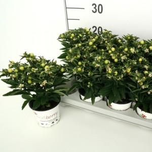 Solanum pseudocapsicum 'Supreme'