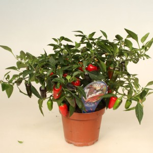 Capsicum annuum 'Black n Red'