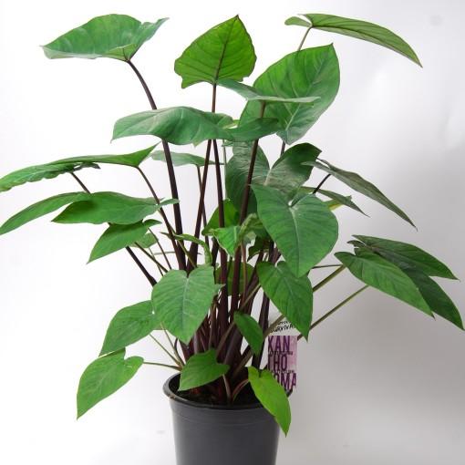Xanthosoma 'Jungle Bush' (Van der Arend Tropical Plantcenter)