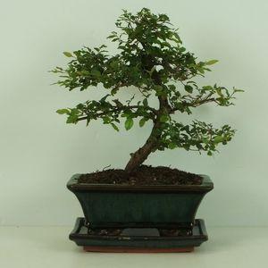 Sageretia thea (Trendy Bonsai BV)