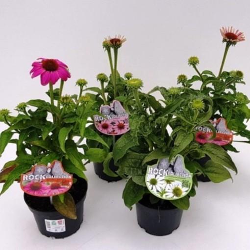 Echinacea purpurea POWWOW MIX (Experts in Green)