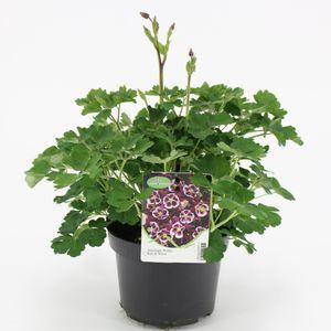 Aquilegia vulgaris 'Winky Red-White' (Kwekerij Baas)