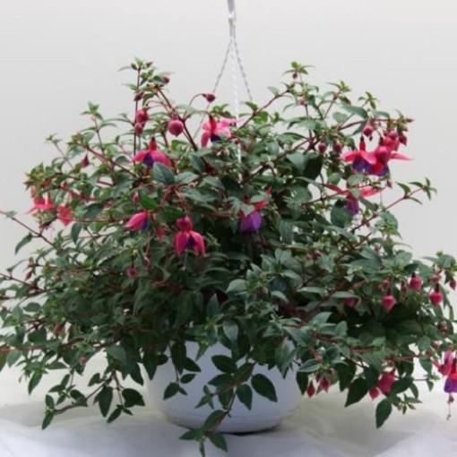 Fuchsia x hybrida (Experts in Green)