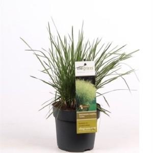Deschampsia cespitosa 'Goldtau' (Hoogeveen Plants)