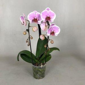 Phalaenopsis PRETTY ROMANCE