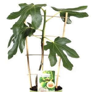 Ficus carica 'Rouge de Bordeaux' (Hoogeveen Plants)