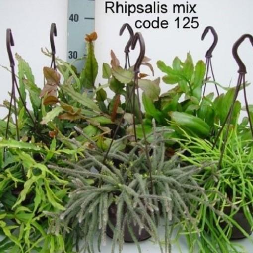 Rhipsalis MIX (van der Hoorn Succulenten)