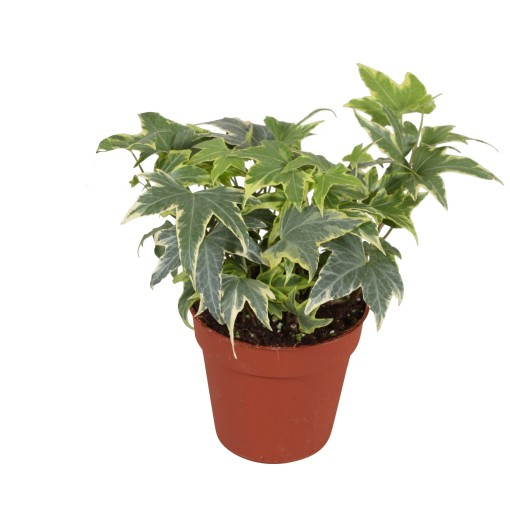 Hedera helix 'Yellow Ripple' (Vireõ Plant Sales)