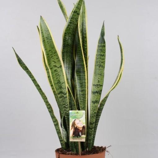 Sansevieria zeylanica (Vireõ Plant Sales)