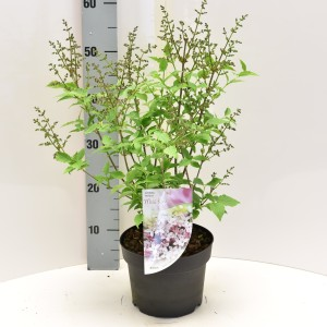 Syringa patula 'Miss Kim' (Dool Botanic)