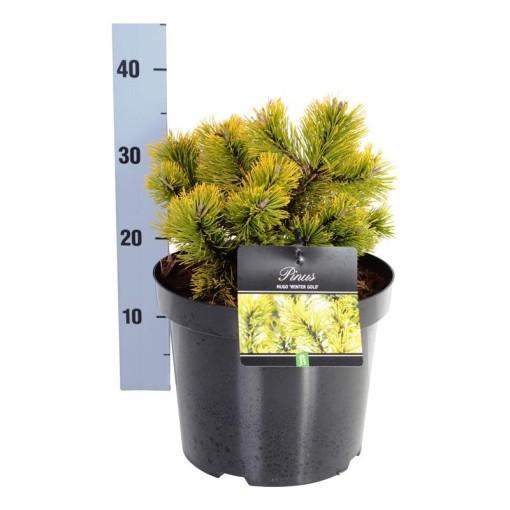 Pinus mugo 'Winter Gold' (Boomkamp Boomkwekerijen B.V.)
