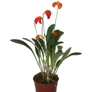 Masdevallia ignea (Lansbergen Orchideeën)