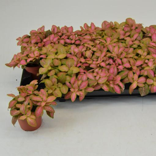 Fittonia verschaffeltii 'Salmon Ruby Lime' (Schoenmakers Tropische Potcultures)