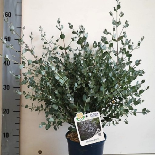 Eucalyptus gunnii (Flora Toscana)