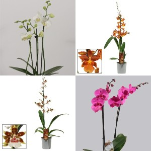 FA Orchids SELECTION #105