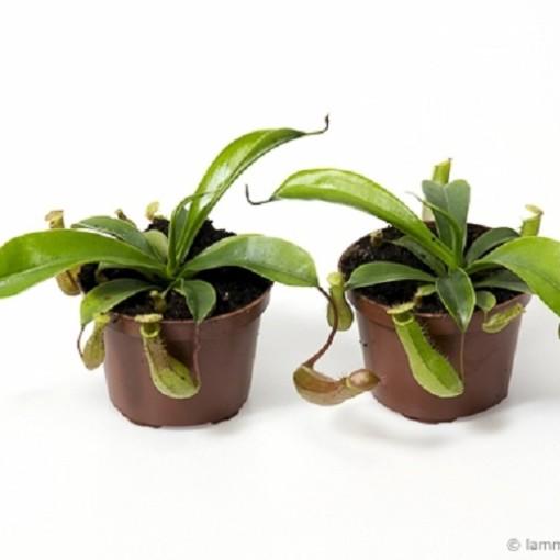 Nepenthes alata (Gasa DK)
