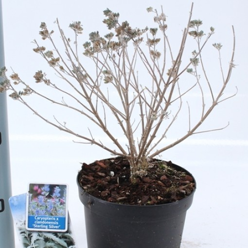 Caryopteris x clandonensis STERLING SILVER (About Plants Zundert BV)