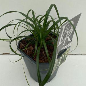 Carex RIBBON FALLS